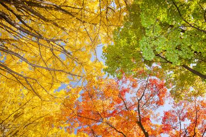 Ginkgo tree   Autumn